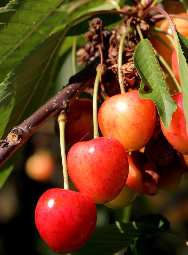 cherrybounty