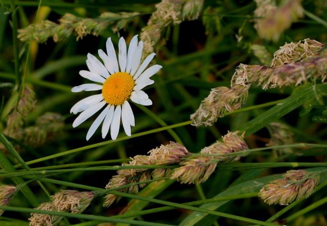daisygrass