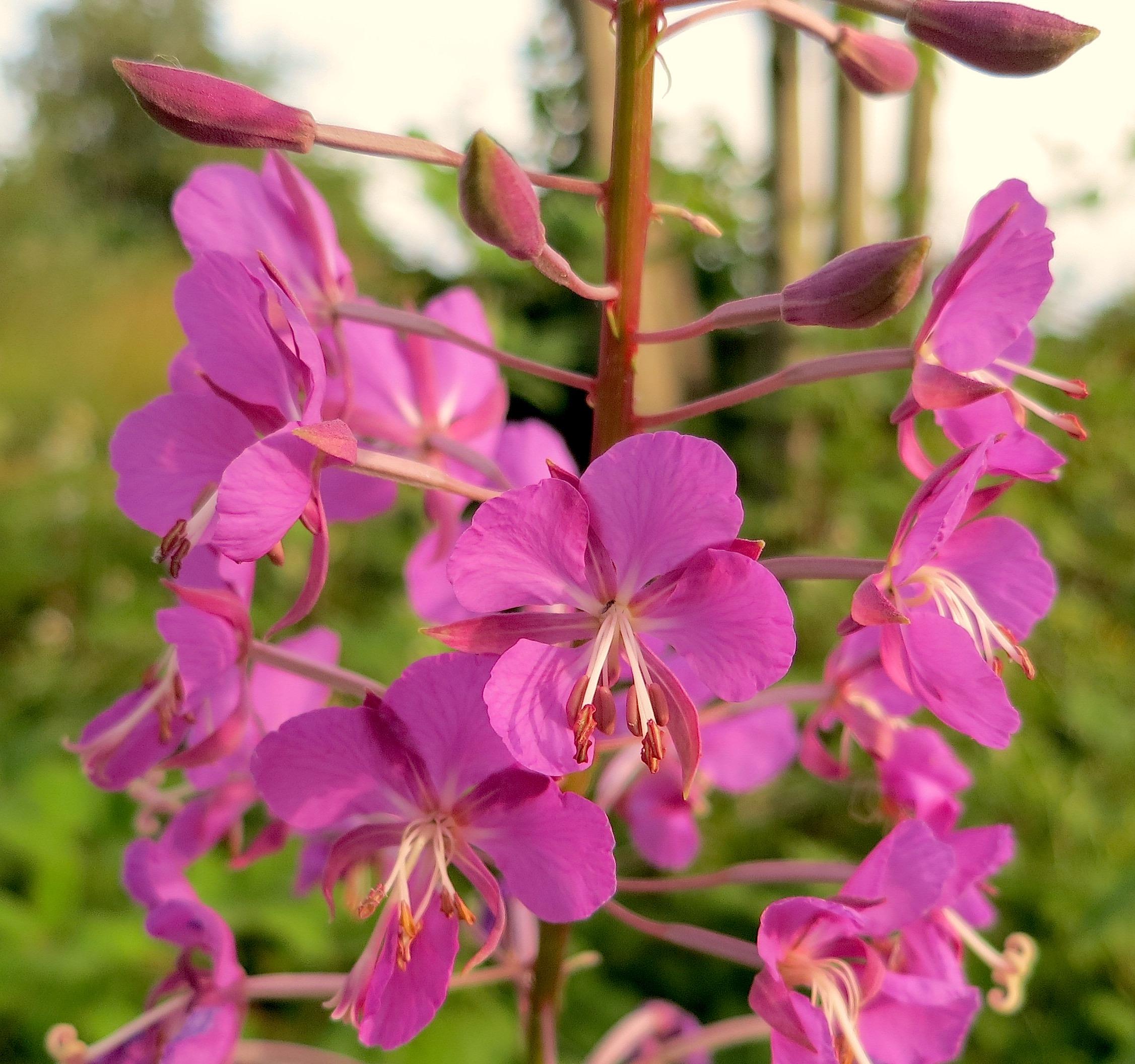 pinkweed