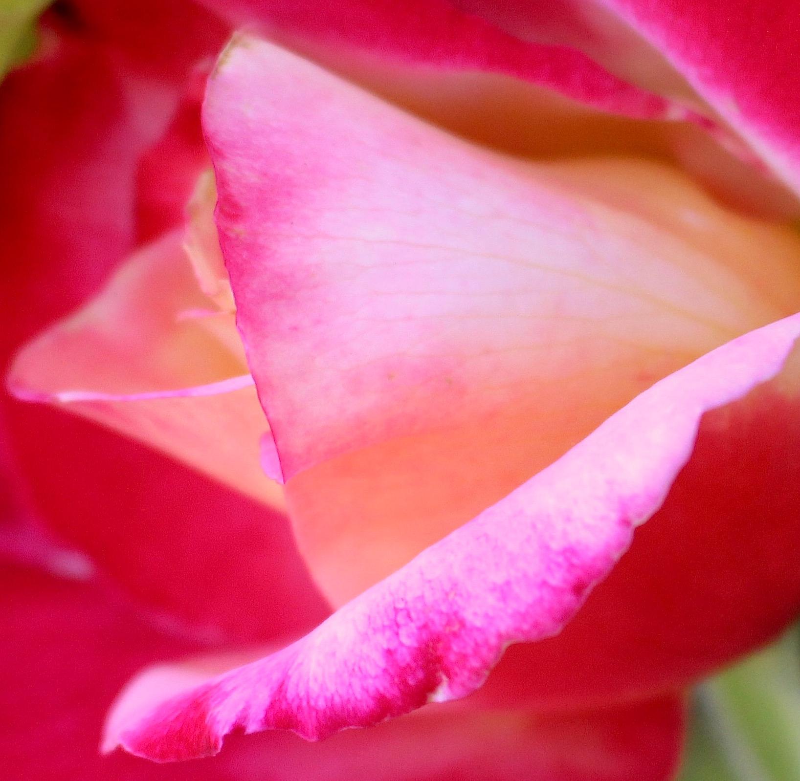 rose611151