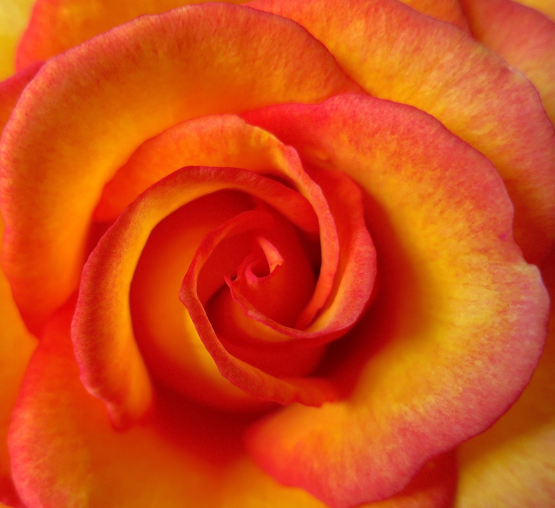 roseswirl5