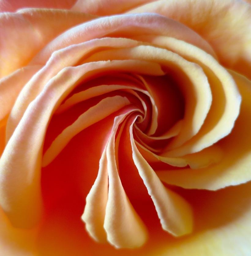 roseunfurl