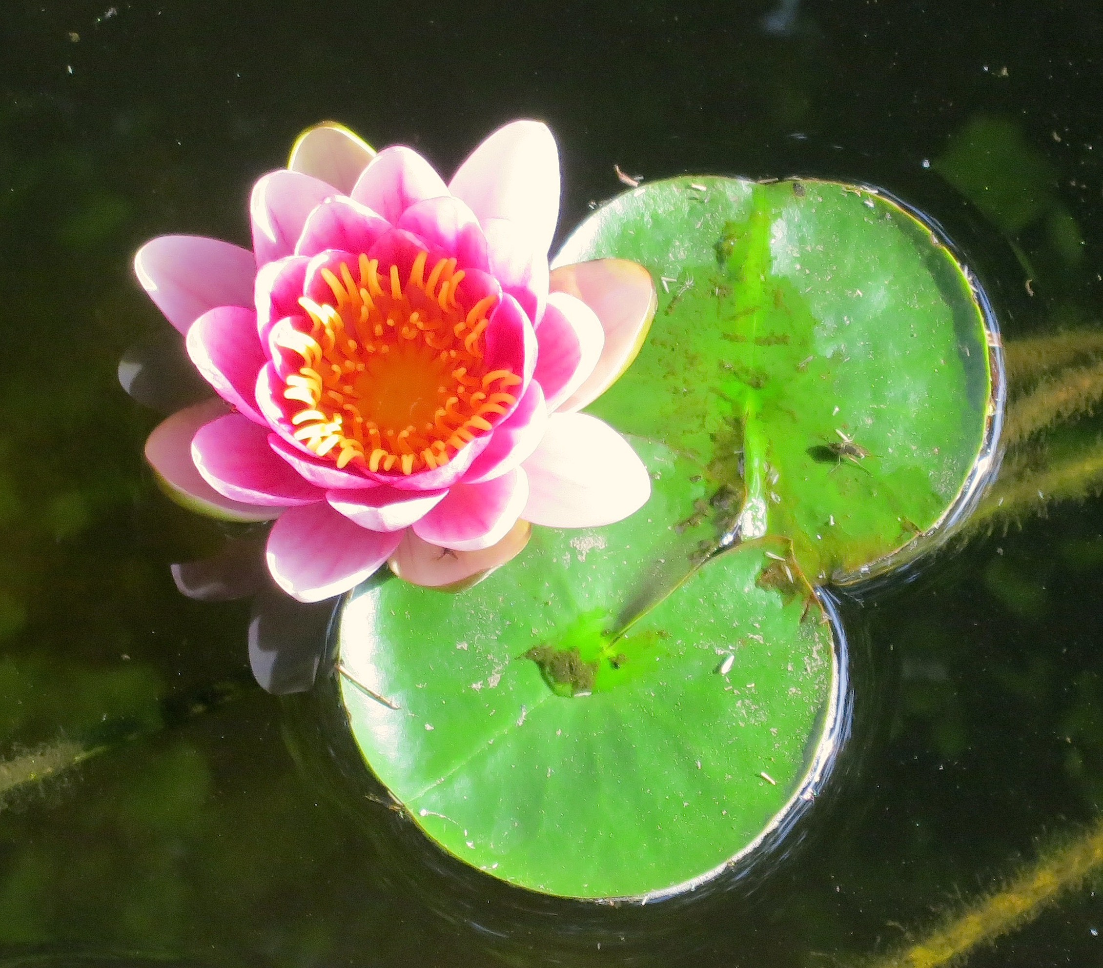 waterlily5