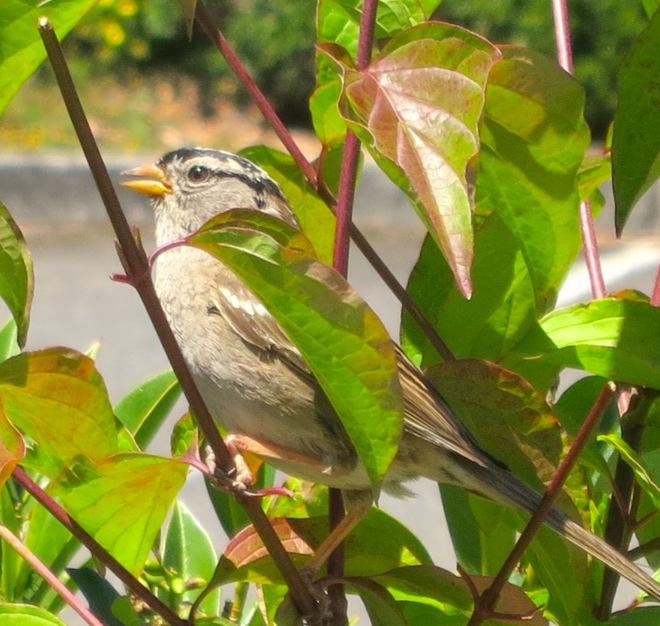 wwubird