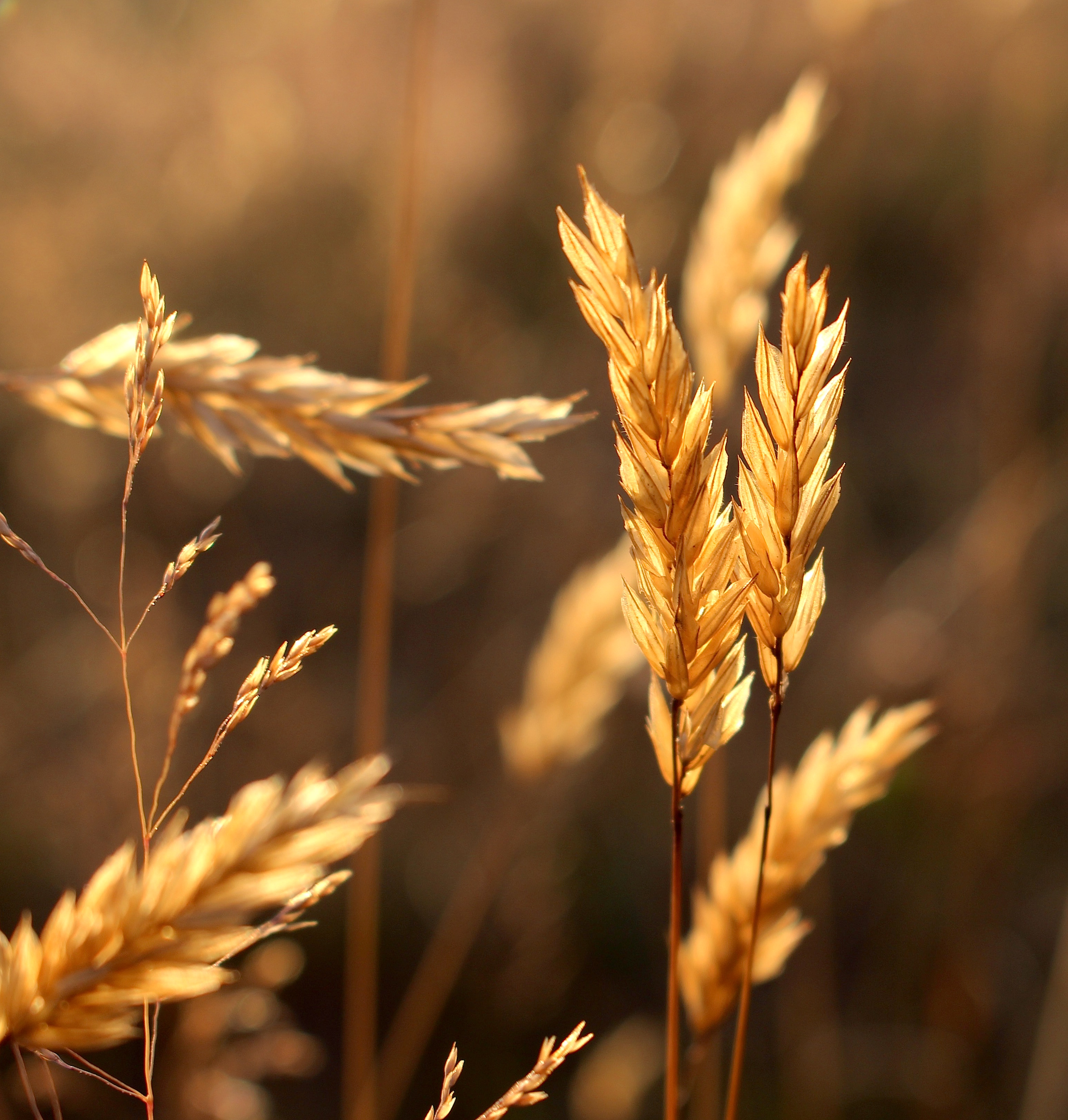 grasses716151