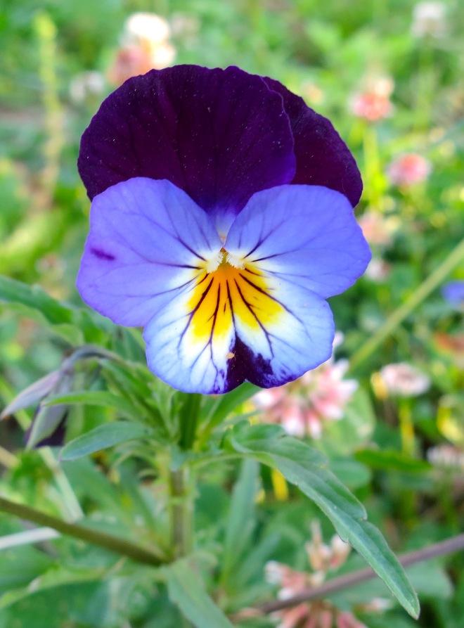 violet615