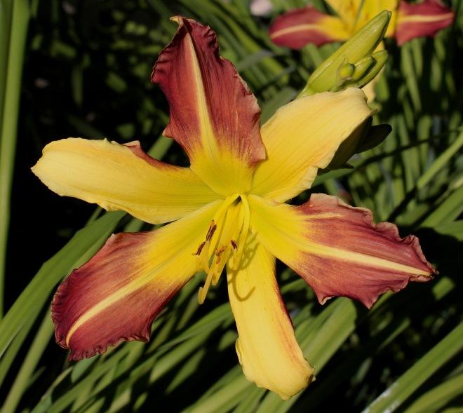 daylily1