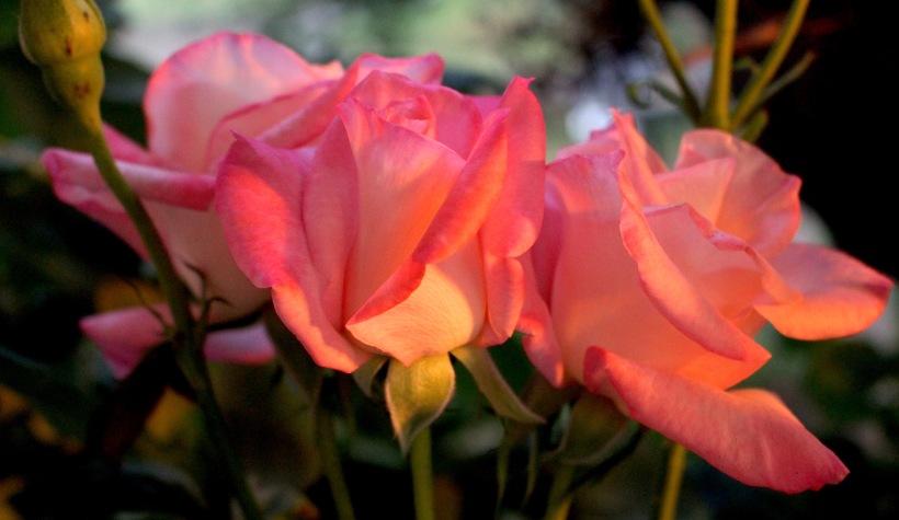 roses71415
