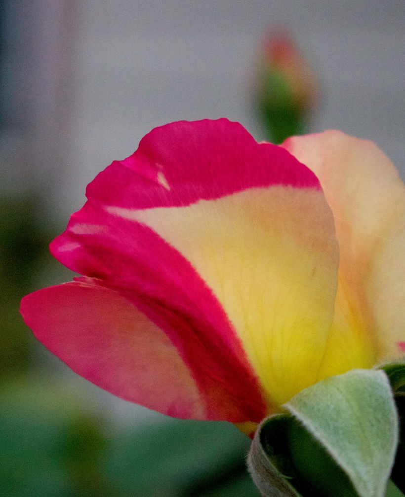 roseveins