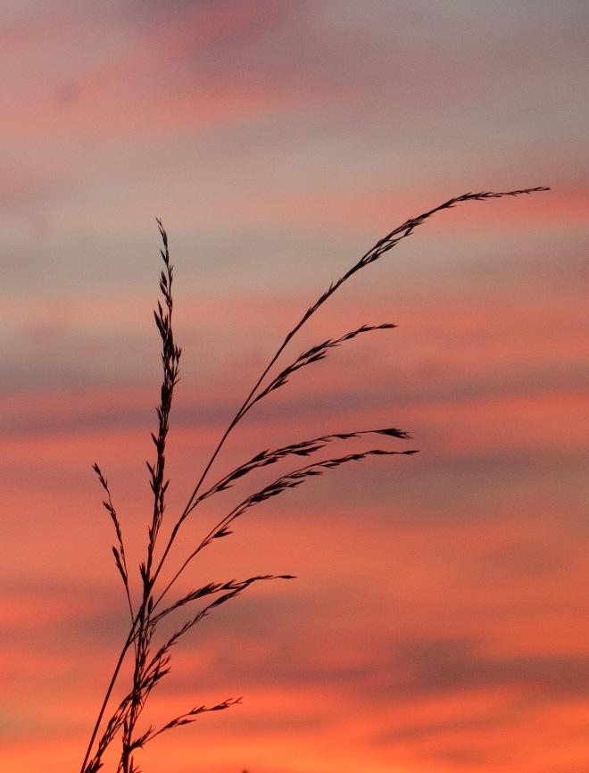 sunsetgrasses810151