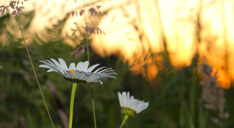 daisybuds
