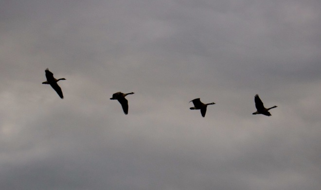 geese913