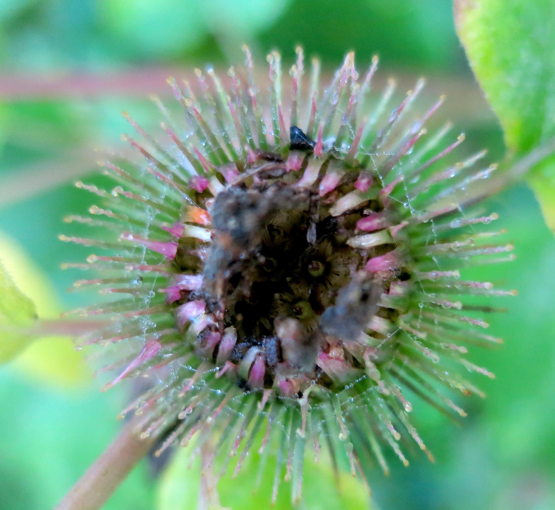 stickerweed