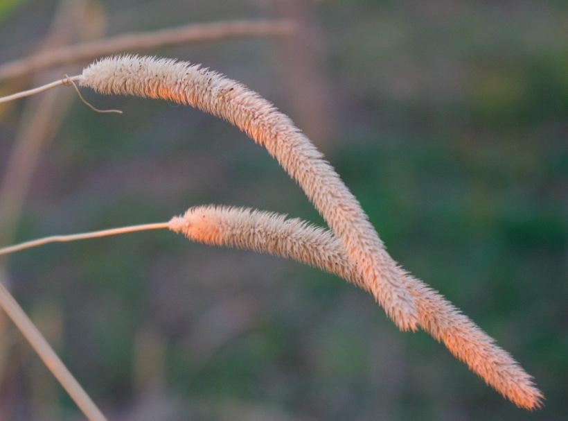 sunsetgrassplume