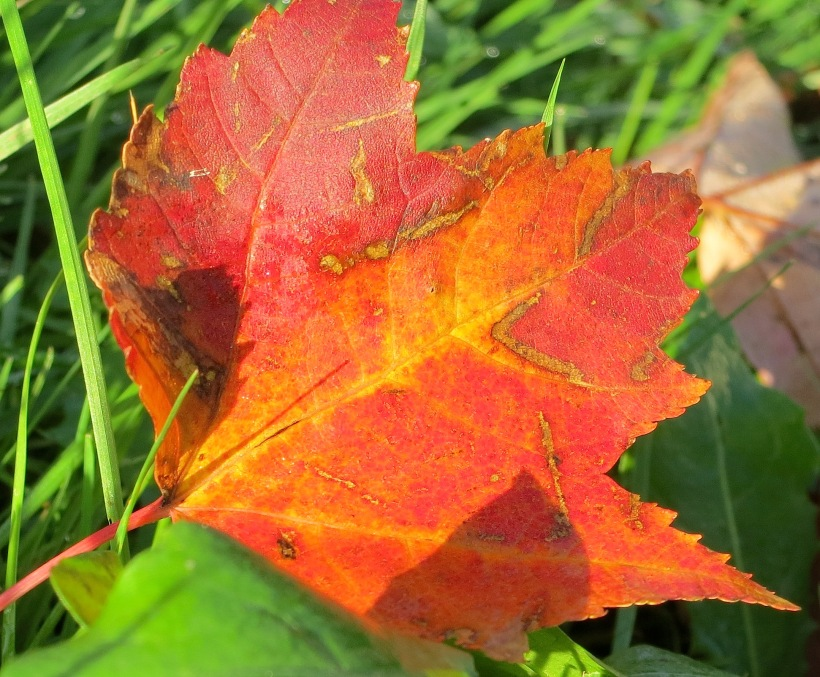 morningleaf2