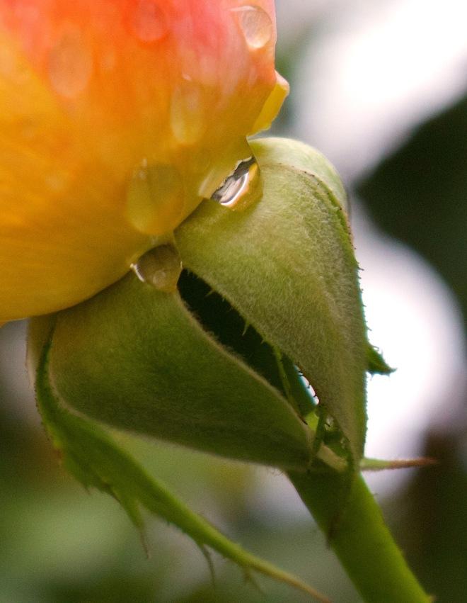 octoberrose1