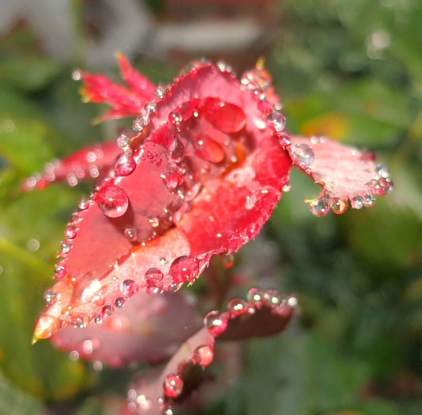 roseleaf1