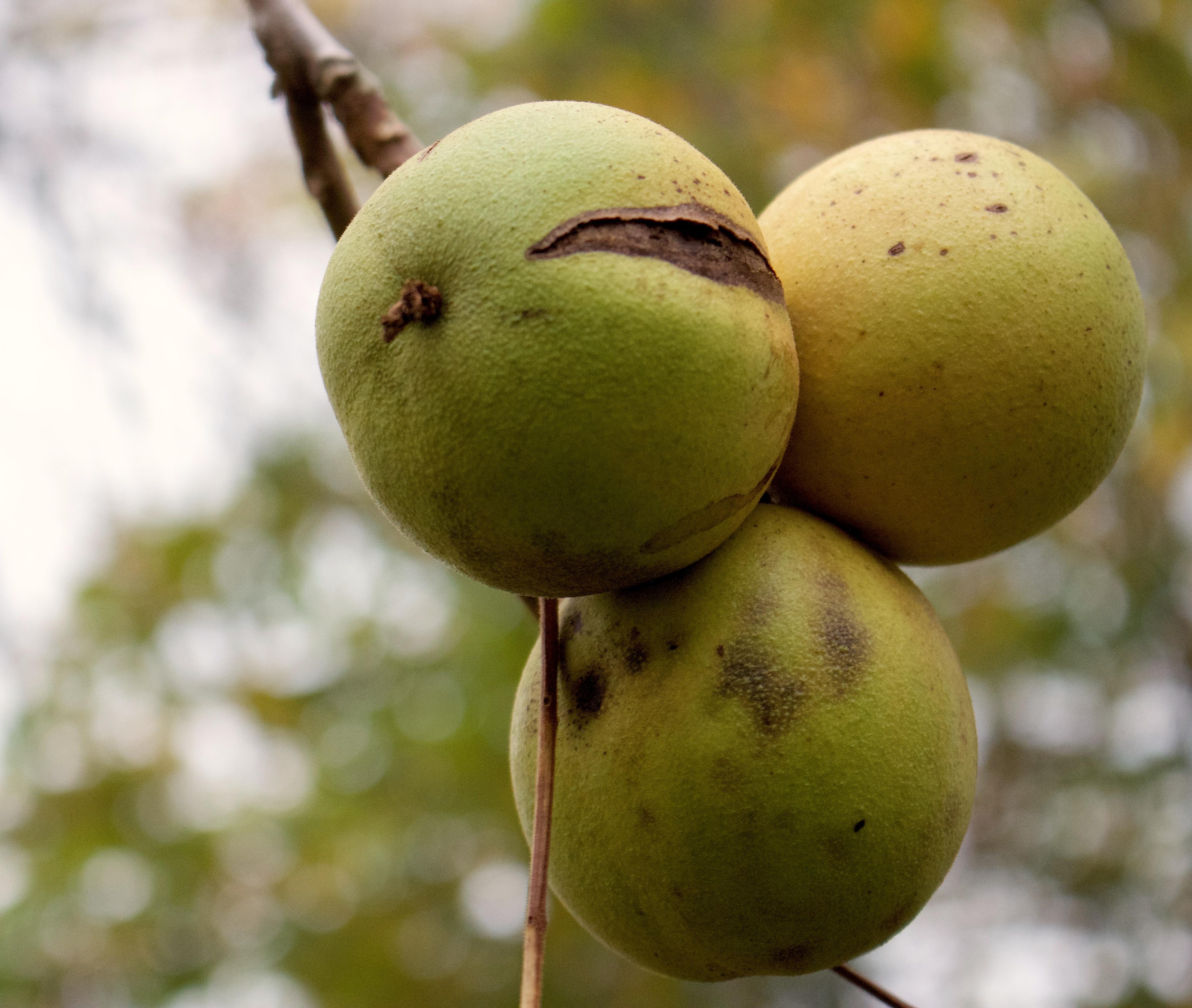 walnuthulls2