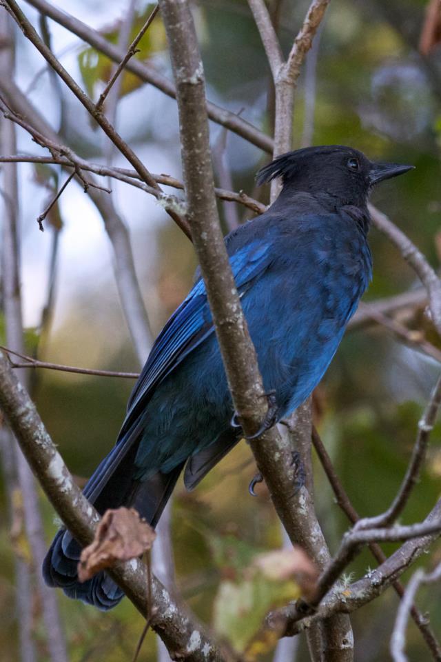 bluejay photo by Josh Scholten
