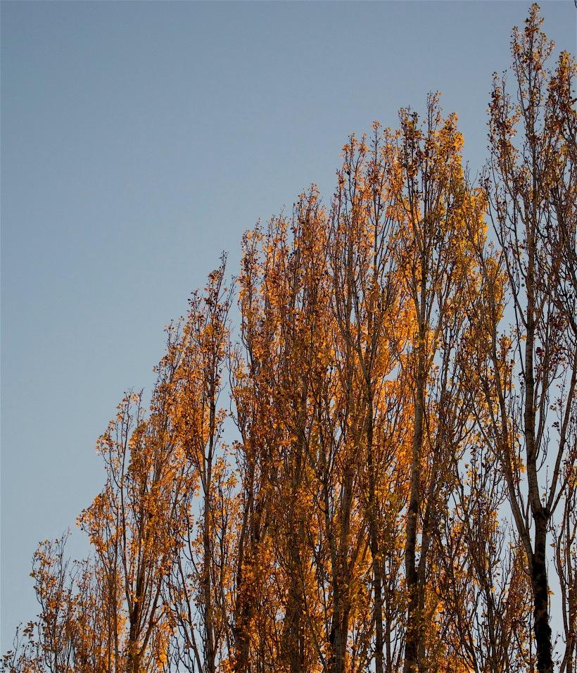 poplargold