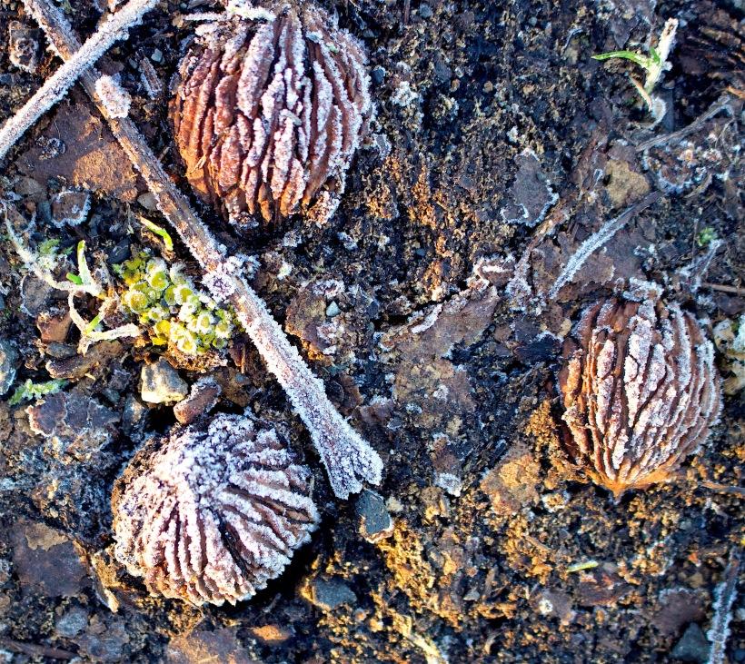 frostywalnuts