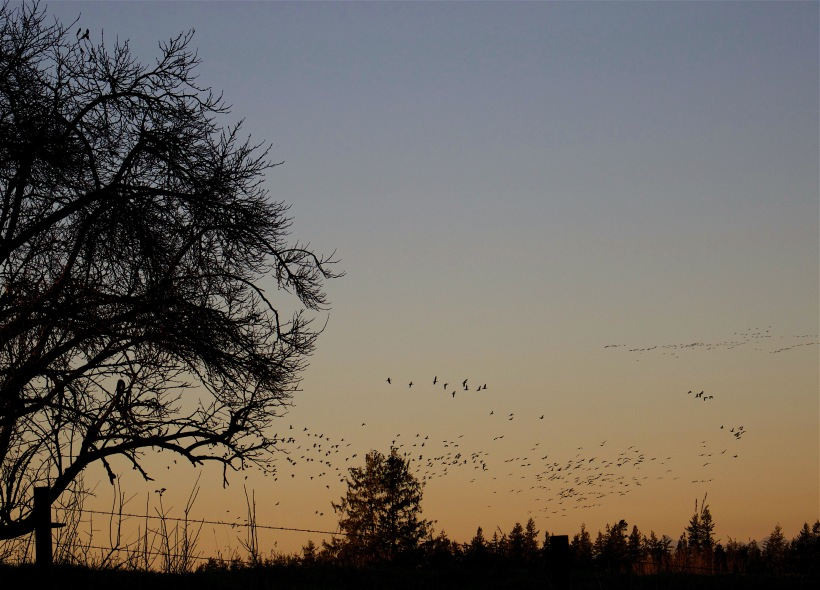 geese1119154