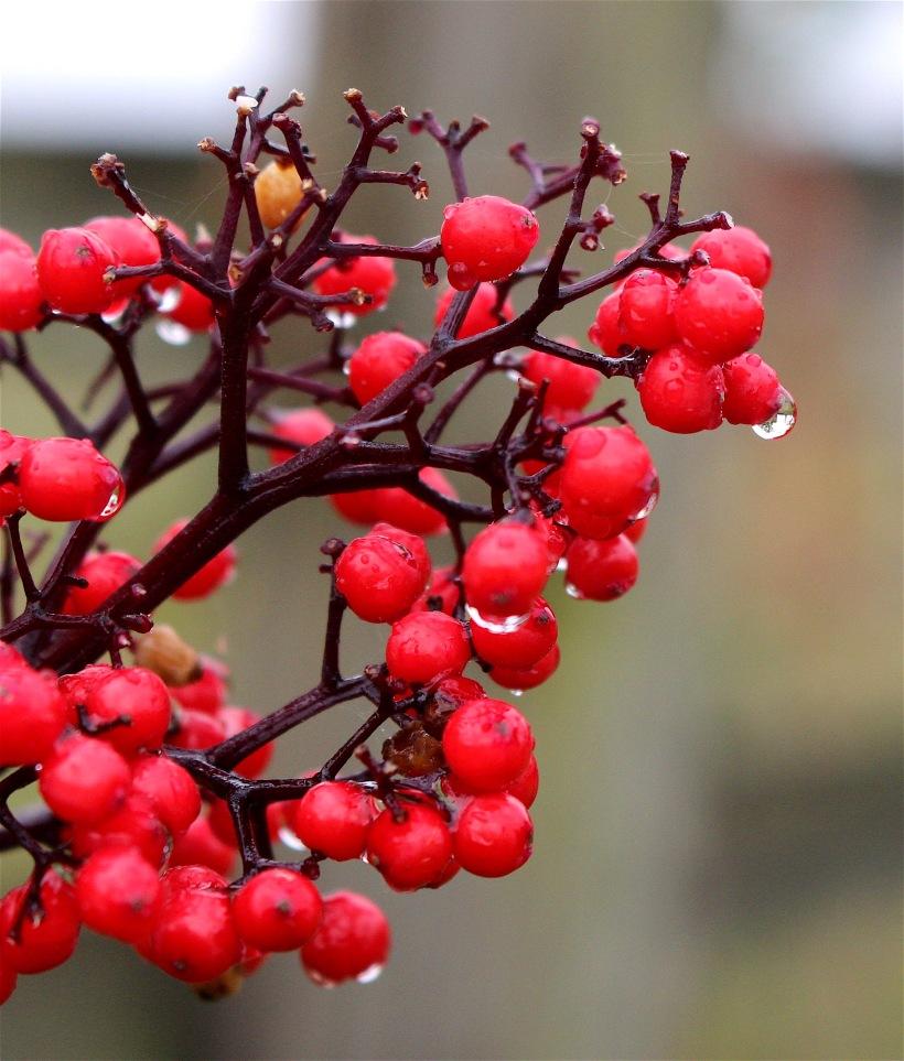 rainyelderberry