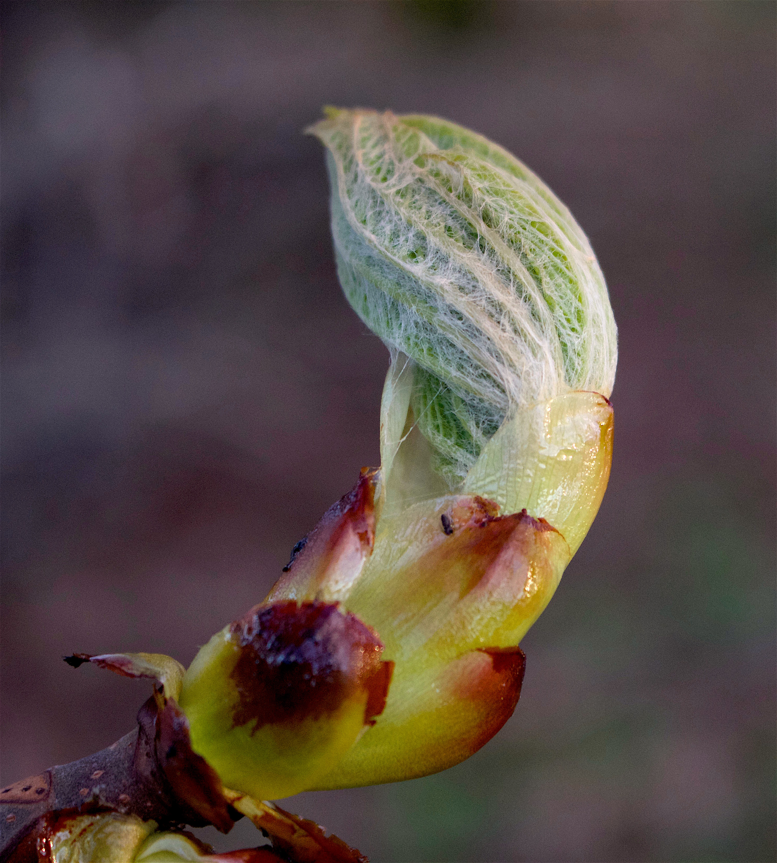 chestnutspring7