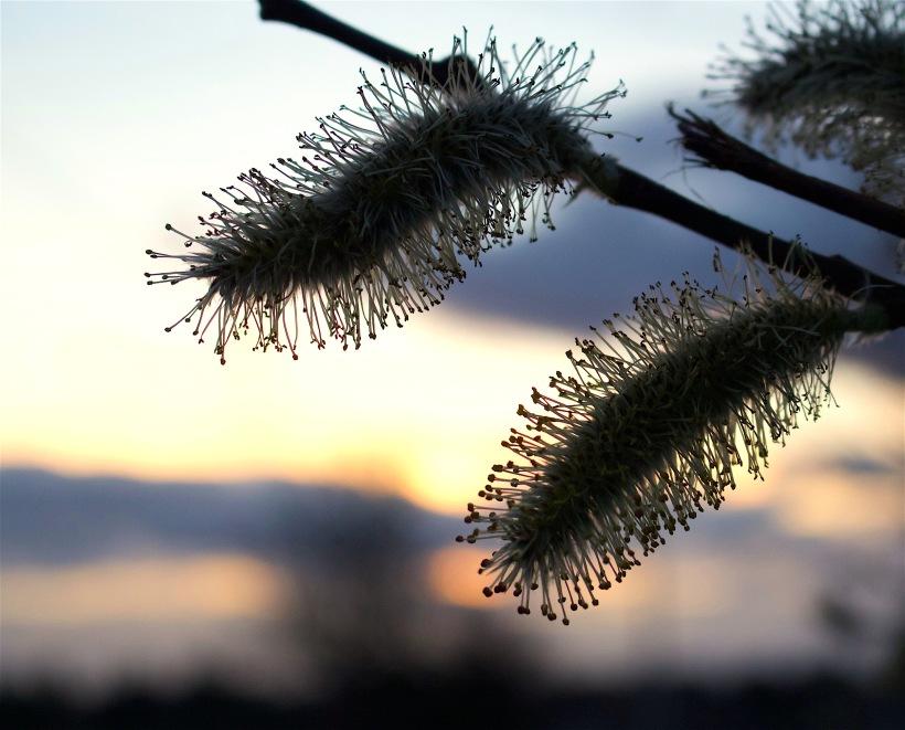 willowsun