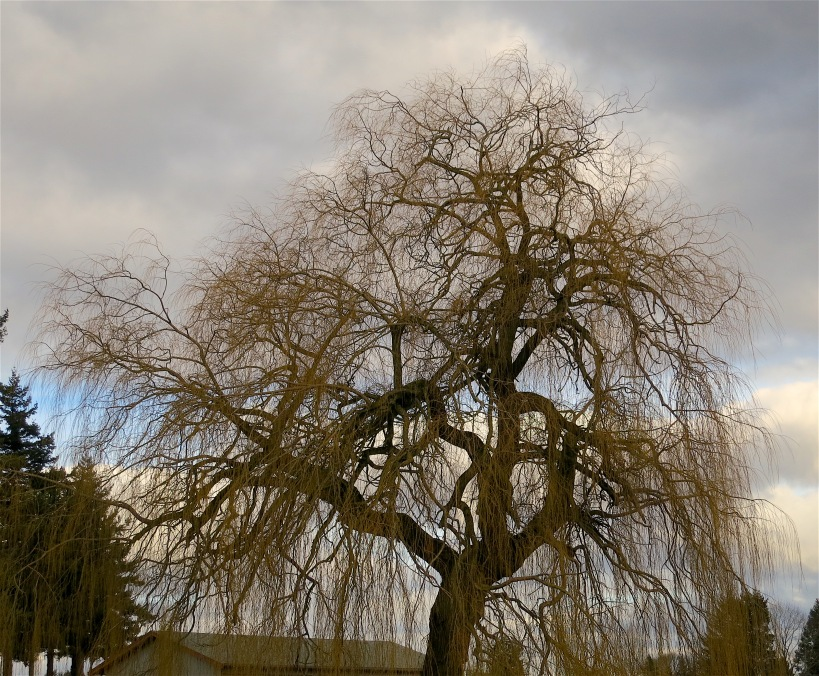willowtree3