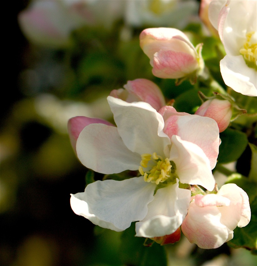 appleblossom2416