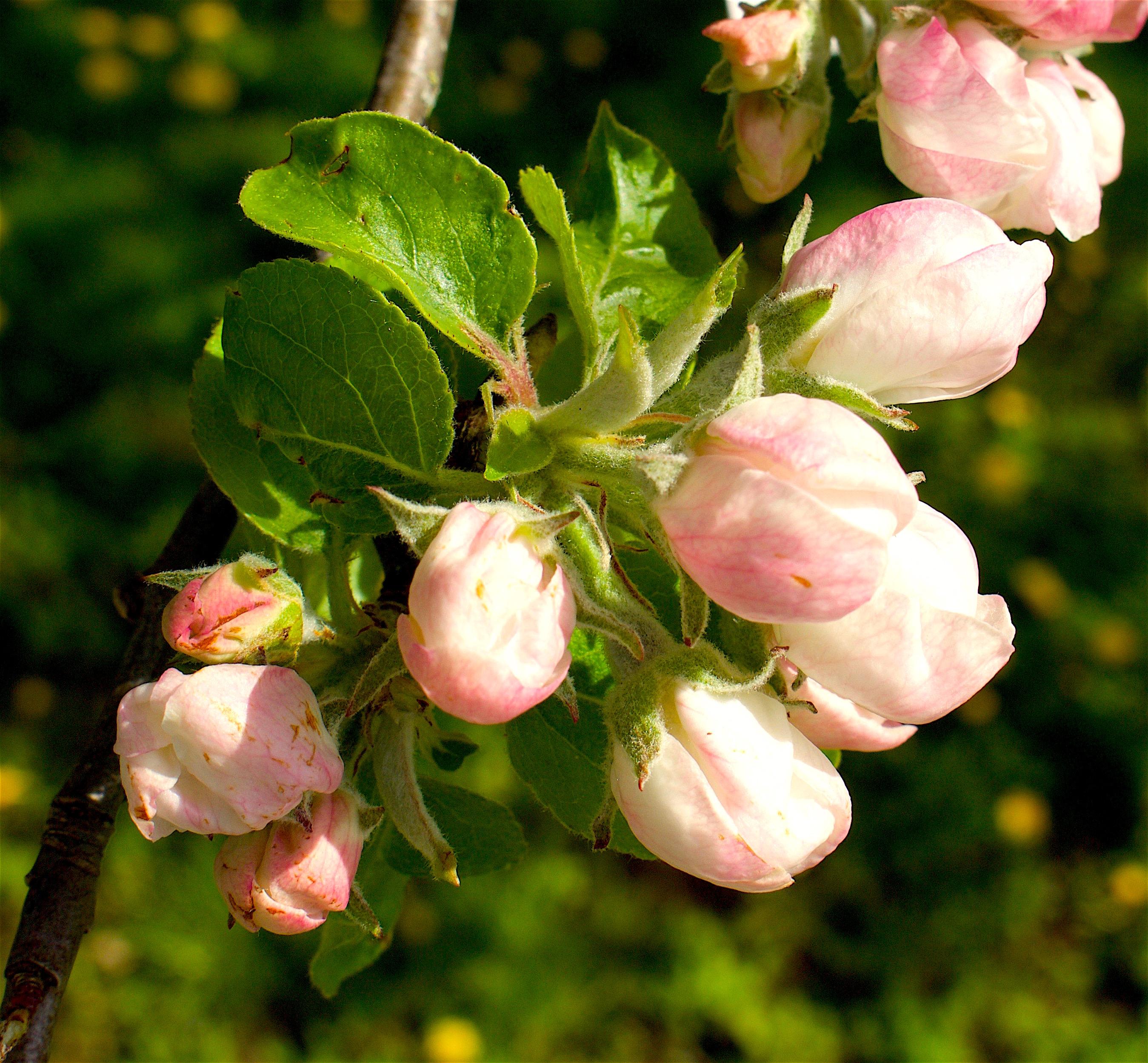 appleblossom316
