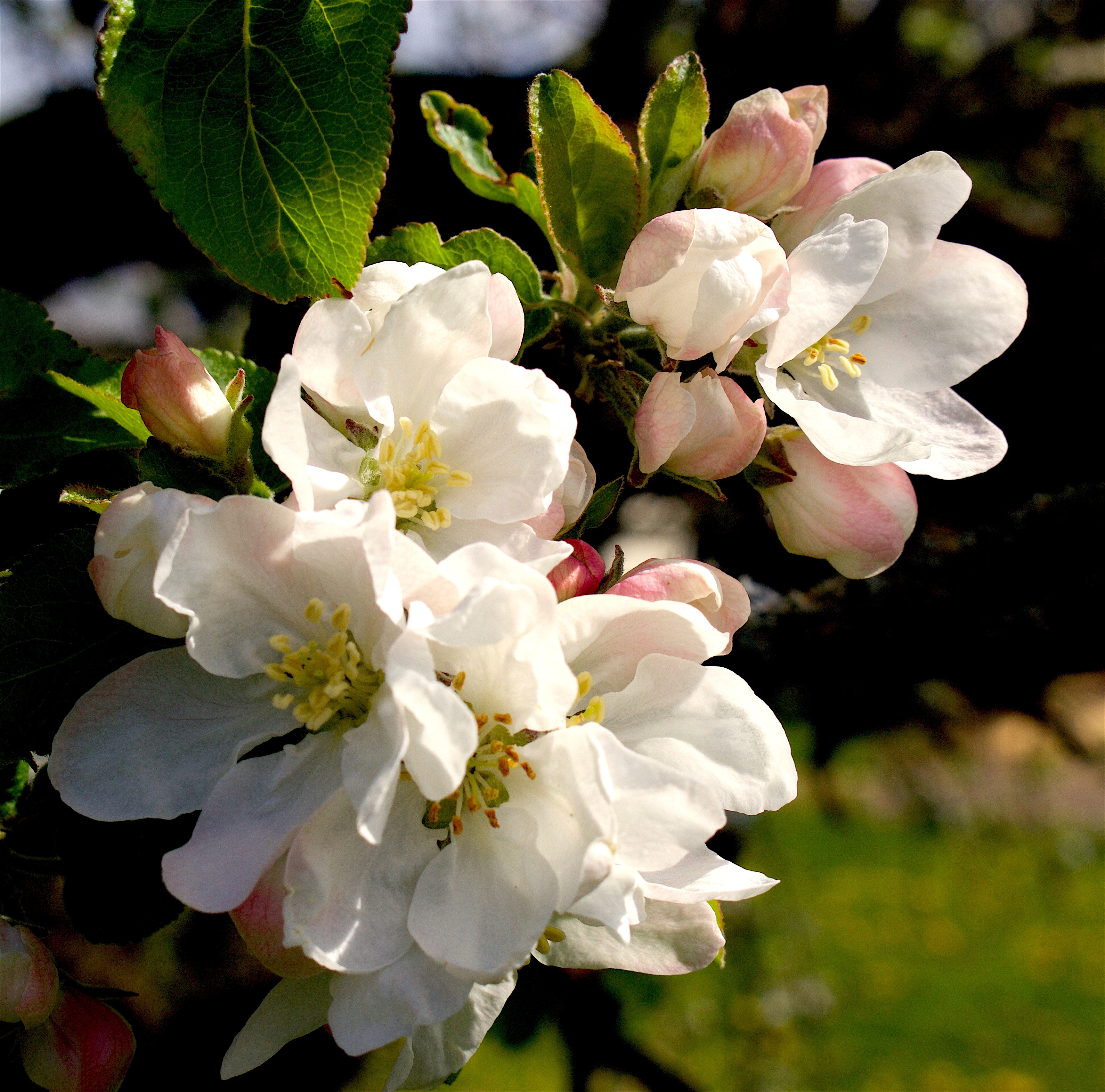 appleblossom416