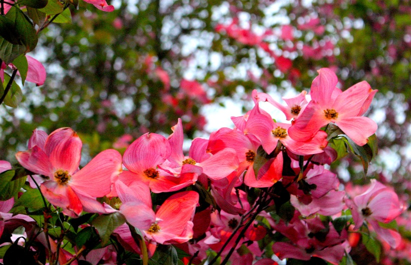 sunsetdogwood3