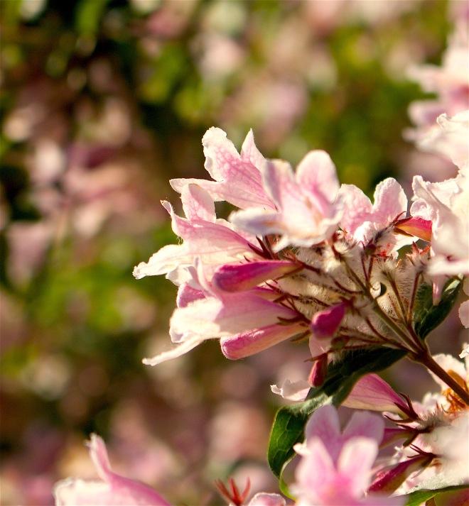 pinkbush2