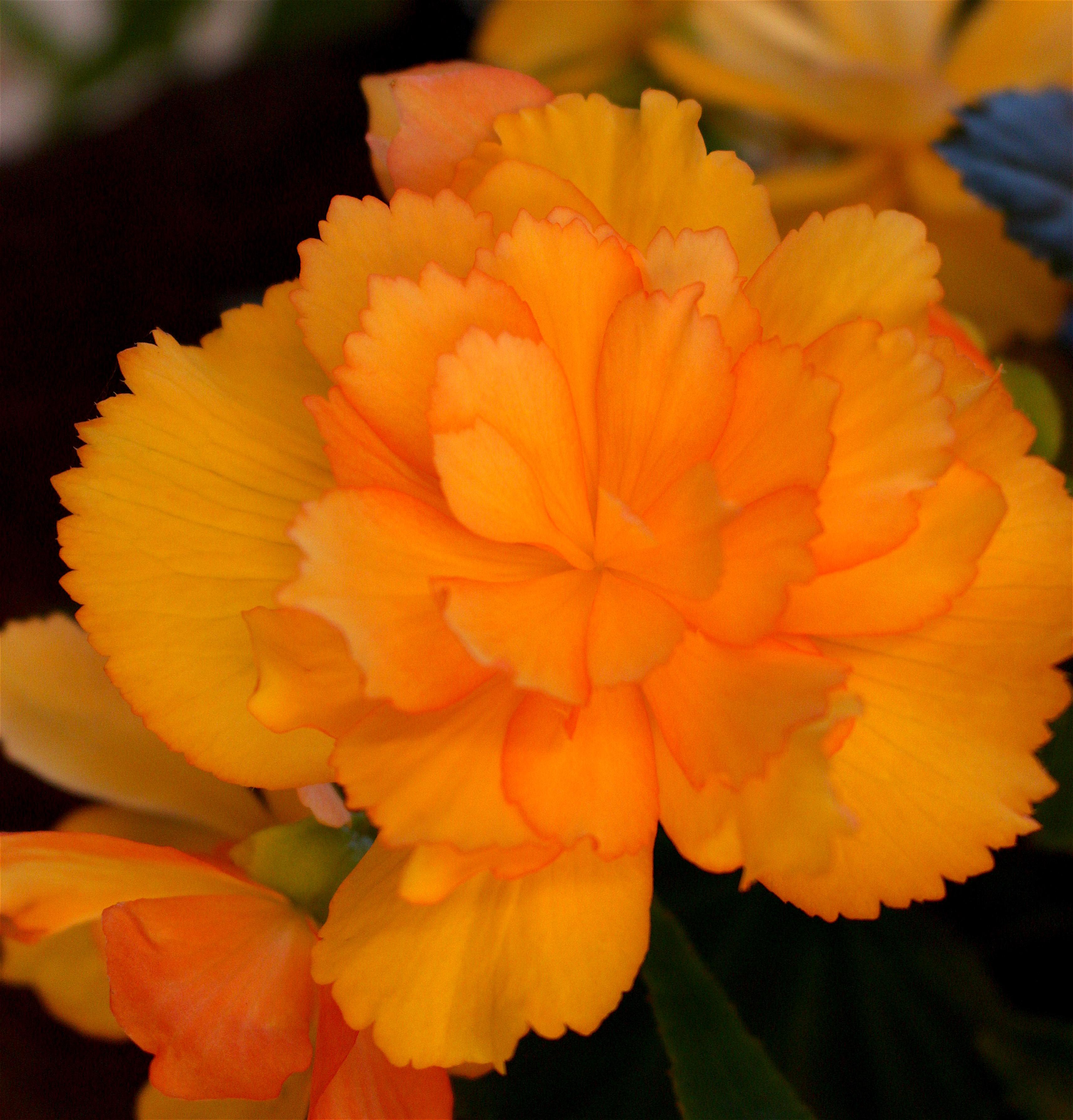 begoniagold