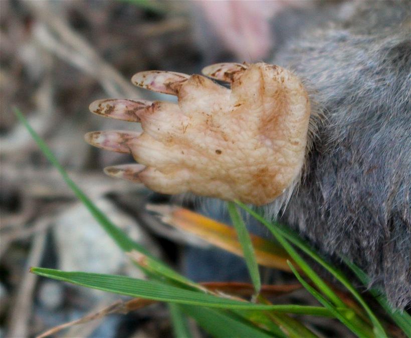 molepaw