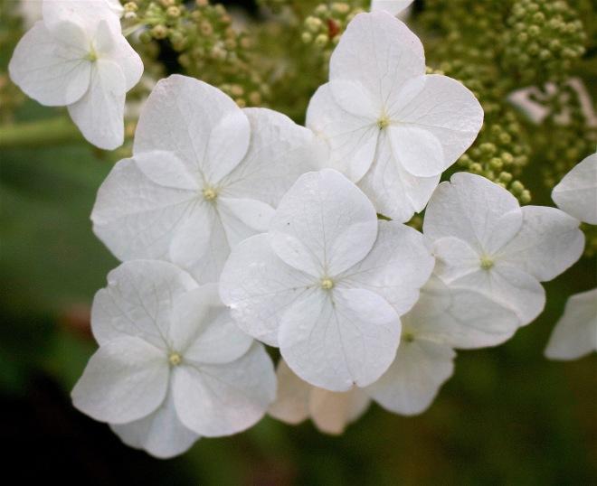 oakleafhydrangea