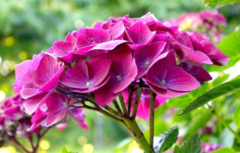 purplehydra