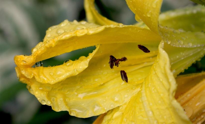 rainylily