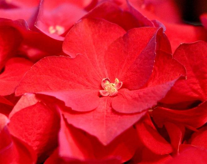 redhydrangea
