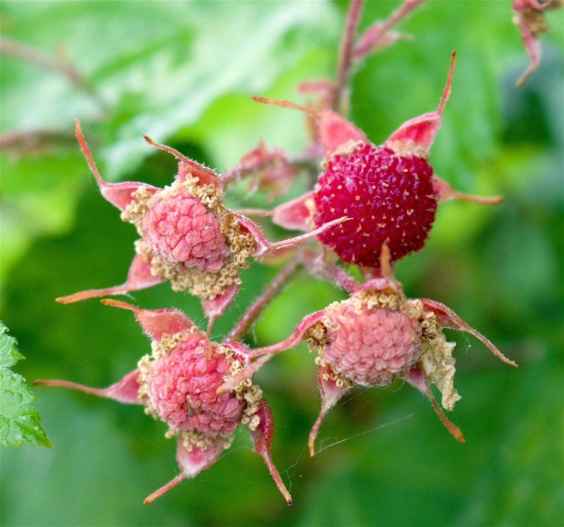 thimbleberry4
