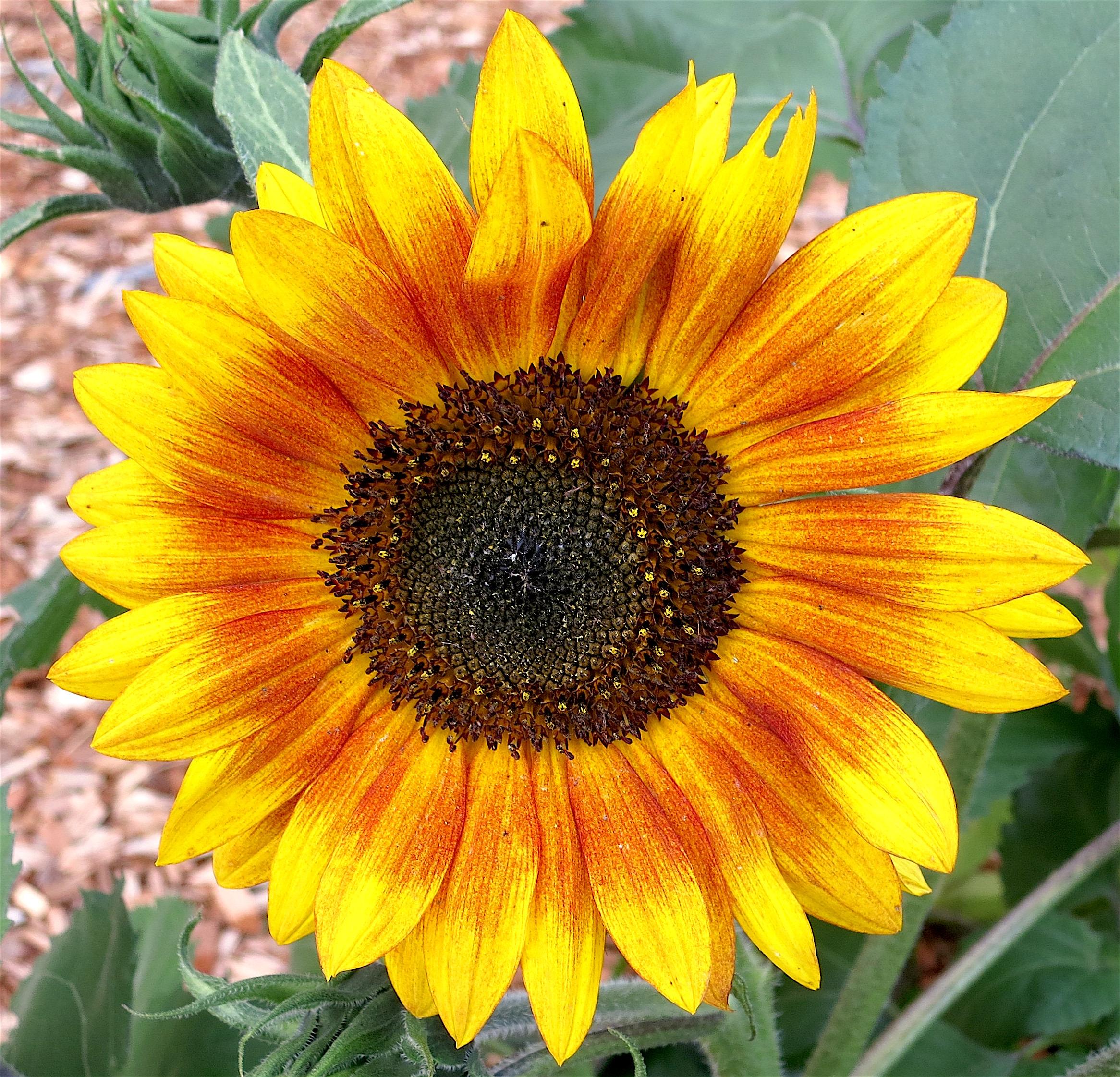 sunflowerjuy