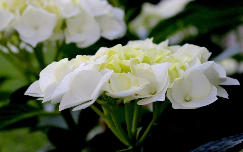 whitehydra