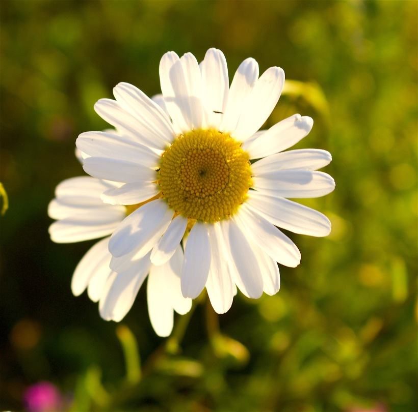 daisypair