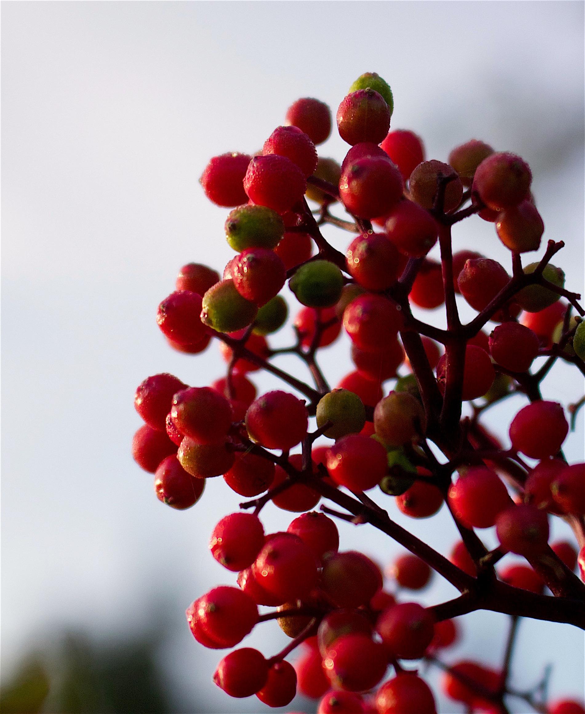 elderberries3