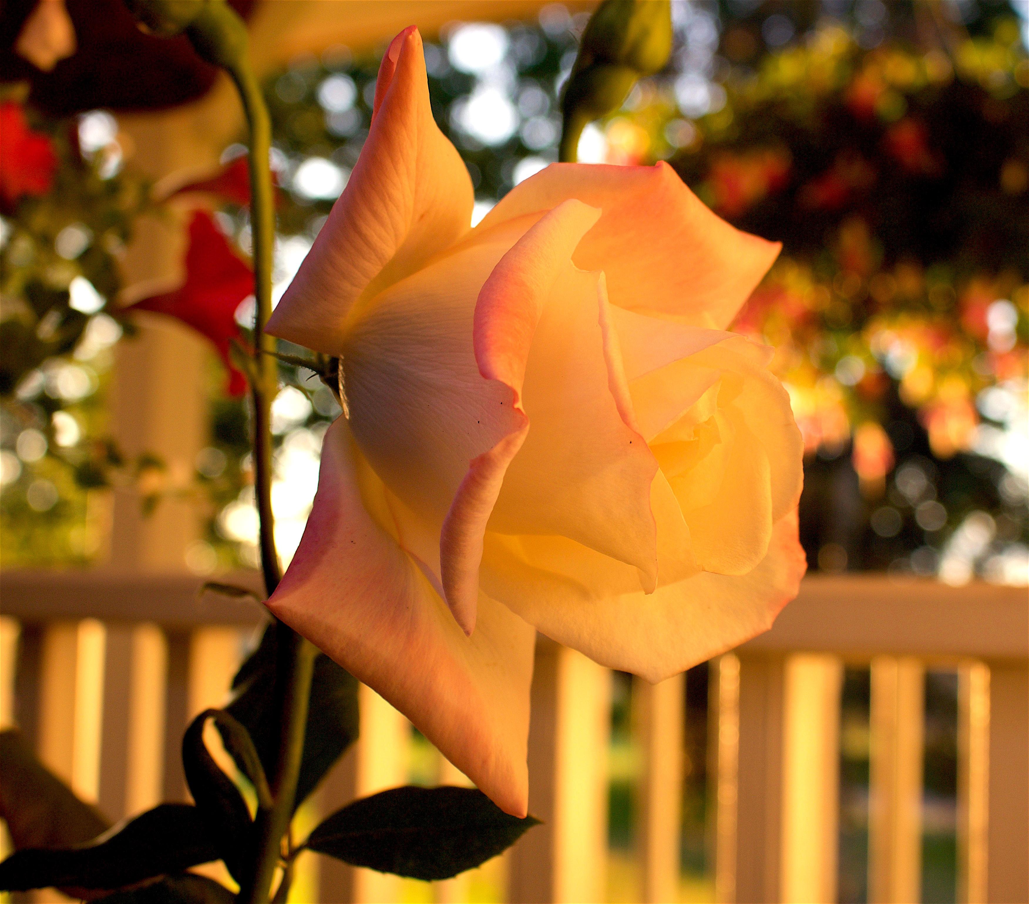 rose52916