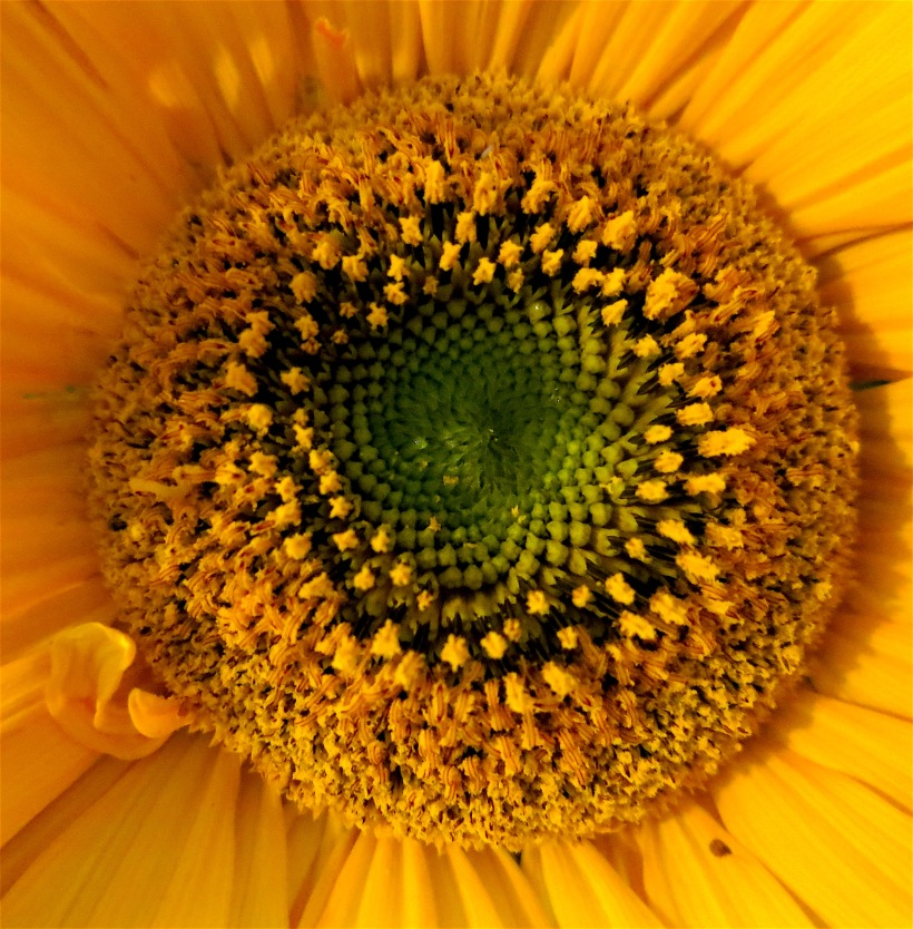 sunflower8162