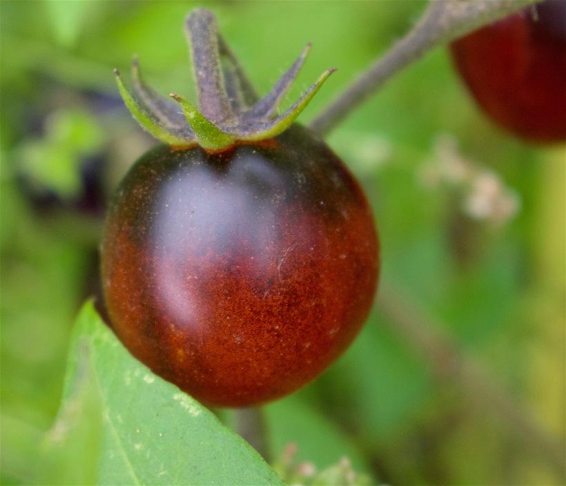 tomatoshine