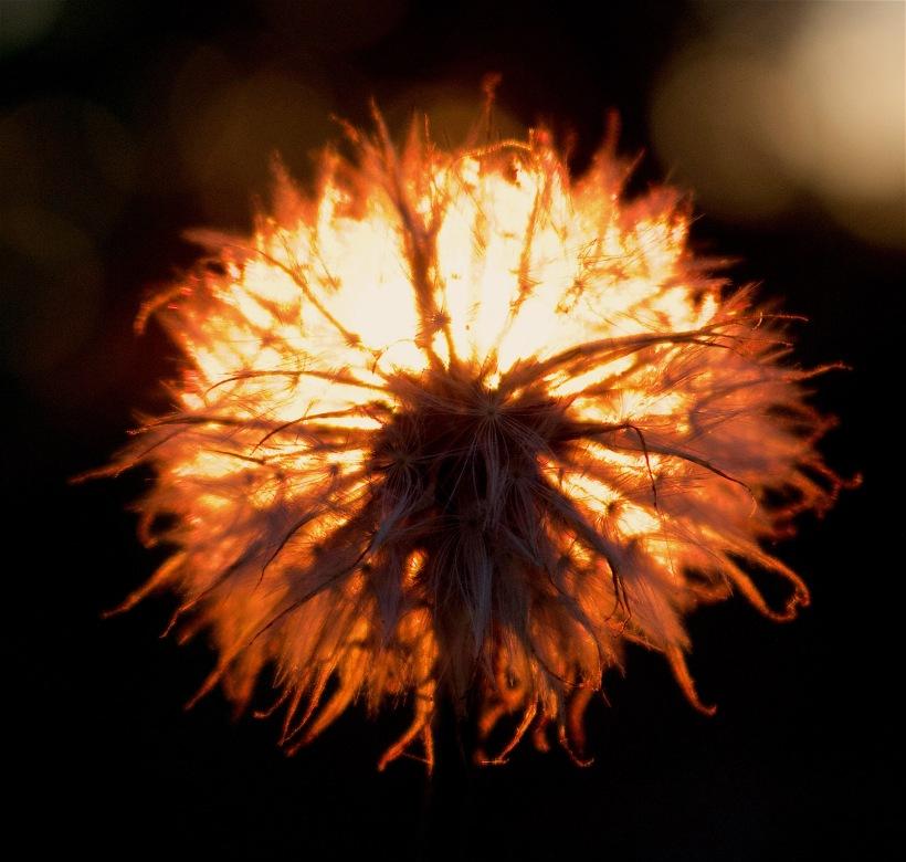 dandyfire1
